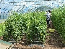 平成24年7月4日 菜園インストラクター養成講座2012 初級前期実習13回