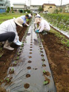 枝豆の苗の植付け