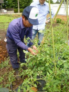トマトの芽欠きを指導する根岸稔さん