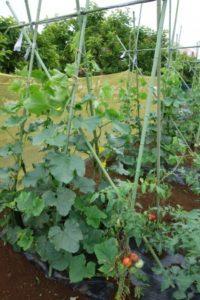 【募集を締め切りました】2021年度みたか野菜収穫体験 参加者募集