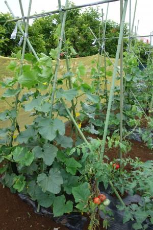 2020年度みたか野菜収穫体験 参加者募集